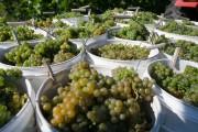 Les vignerons québécois soutiennent que l'acidité de leurs... (PHOTO FRANÇOIS ROY, LA PRESSE) - image 1.0