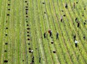 Oubliez le merlot à Bordeaux et le malbec à... (Photo François Nascimben, AFP) - image 4.0