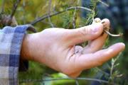 La tordeuse des bourgeons de l'épinette s'attaque d'abord... (Collaboration spéciale Johanne Fournier) - image 1.0
