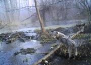 Un loup dans la forêt de Tchernobyl... (AP, Sergiy Gaschak) - image 7.0