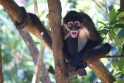 Les singes-araignées, très habiles, peuvent être aperçus dans... (Photo Sylvain Sarrazin, La Presse) - image 4.1