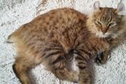 Maximus est un superbe highland lynx qui habite... (Photo courtoisie) - image 2.0
