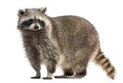 Les ratons laveurs peuvent être porteurs de maladies... (PHOTOTHINKSTOCK) - image 1.1