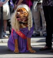 Un dogue de Bordeaux habillé en gagnante d'un... (PHOTO MARK HUMPHREYS, ARCHIVES AP) - image 1.0