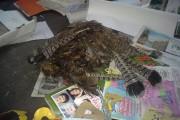 Des carcasses d'oiseaux sauvages sont retrouvées par les... (Courtoisie) - image 1.1