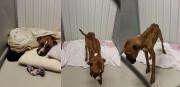 Un chien boxer dans un état d'extrême maigreur a été... (Courtoisie, SPCA) - image 2.0