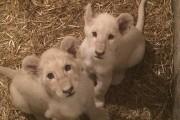 Les lionceaux qui pèsent déjà 40 livres, arrivent... - image 3.0