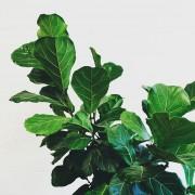 Ficus lyrata ou, en français, figuier lyre.... (PHOTO TIRÉE DU COMPTE INSTAGRAM SIANZENG) - image 1.1