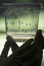 Le virus Zika se transmet par l'intermédiaire d'une... (AFP, Nelson Almeida) - image 2.0