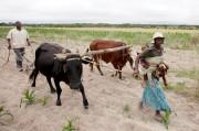 Des agriculteurs zimbabwéens s'affairaient aux champs, hier, dans... (PHOTO PHILIMON BULAWAYO, REUTERS) - image 4.0