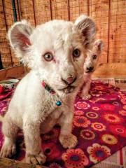 Les lionceaux blancs hébergés par le Zoo de... (Photo tirée de Facebook) - image 1.0