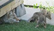 Une famille coyote, un peu trop habituée à... (PHOTO ARCHIVES LA PRESSE CANADIENNE) - image 4.0