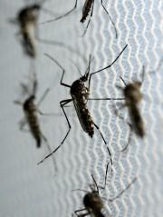 Le moustiqueAedes Aegypti.... (PHOTO REUTERS) - image 2.0