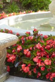 Bien connues comme plantes d'intérieur, les bégonias, de... (National Garden Bureau) - image 1.0