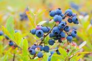 Le bleuet sauvage s'inscrit parfaitement dans les... (Archives Le Quotidien) - image 2.0