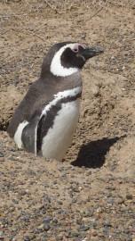 Les manchots de Punta Tombo se laissent volontiers... (PHOTO PIERRE GINGRAS, LA PRESSE) - image 2.0