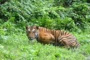 Le nombre de tigres dans la nature a... (PHOTO ARCHIVES AFP) - image 5.0