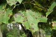 Tache goudronneuse de l'érable... (Photo Wikimedia Commons) - image 4.0