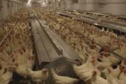 Les Poules à Victor regroupent 8000 poules en... (Le Progrès-Dimanche, Mélissa Viau) - image 2.0