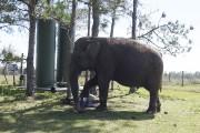 Mysore, un éléphant du cirqueRingling Bros. and Barnum... (AFP, Kerry Sheridan) - image 2.0
