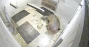 Le premier nouveau-né des deux morses femelles de... (Photo fournie par CNW/SEPAQ) - image 1.0