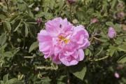 Une rose de Damas... (AFP, Louai Beshara) - image 2.0