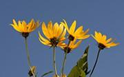 Le topinambour produit de jolies fleurs jaunes en... (Photo Bernard Brault, archives La Presse) - image 1.1