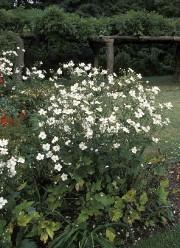 L'anémone du Japon «HonorineJobert» est généralement résistante aux... (www.jardinierparesseux.com) - image 2.0