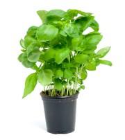 Un plant de basilic... (123RF, Sandra Van Der Steen) - image 6.0