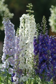 Delphinium Guardian Lavender, Guardian White, Guardian Blue.... (National Garden Bureau) - image 1.1