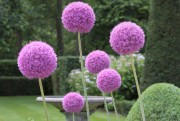 L'Allium ornemental est le bulbe de l'Année 2016.... (National Garden Bureau) - image 2.0