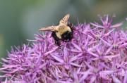 L'Allium se distingue par ses petites fleurs en... (National Garden Bureau) - image 2.1