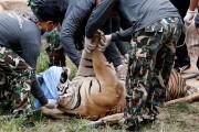 Les premiers tigres ont été évacués par camion... (PHOTO Chaiwat Subprasom, REUTERS) - image 1.0