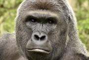 Harambe, le gorille tué par les employés du... (AFP) - image 2.0