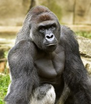 Le gorille Harambe.... (PHOTO AP) - image 2.0