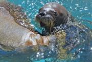 Un morse hébergé par l'Aquarium du Québec... (Le Soleil, Pascal Ratthé) - image 4.0