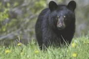 Un ours noir... (Serge Ouellet) - image 3.0