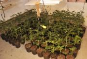 Plusieurs des plants étaient bien placés dans le... (Photo courtoisie, Sécurité publique de Saguenay) - image 2.0