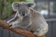 Ce koala a dû subir l'ablation de l'oeil... (AFP, Peter Parks) - image 2.0
