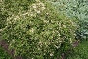 Le stéphanandra crispé (Stephanandra incisa 'Crispa'), au centre,... (Photo www.jardinierparesseux.com) - image 3.0