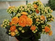 Kalanchoé à fleurs doubles... (Pinus, Wikimedia Commons) - image 4.0