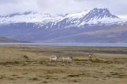 Des rennes, spectateurs dans la région des fjords... (PHOTO STÉPHANE MORIN, LA PRESSE) - image 2.0
