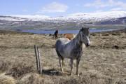 Les chevaux islandais vivent dehors 365 jours par... (PHOTO STÉPHANE MORIN, LA PRESSE) - image 3.0
