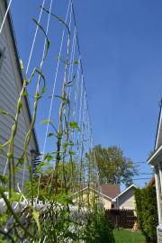 Une clôture de houblon : une idée écologique... (Photo Claudie Laroche) - image 1.0
