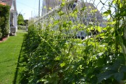 Une clôture de houblon : une idée écologique... (Photo Claudie Laroche) - image 1.1