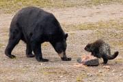 Un ours noir tombe face à face avec... (La Presse, David Boily) - image 2.0