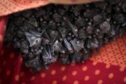 Des roussettes, une espèce de chauve-souris frugivore, supendues... (AFP, MENAHEM KAHANA) - image 2.0