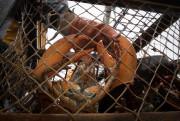 Une prise du pêcheur de homards J.J. Chaisson... (PHOTO IVANOH DEMERS, LA PRESSE) - image 1.0