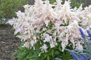 Astilbe 'Younique Silvery Pink'... (www.perennialresource.com) - image 2.0