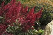 Astilbe 'Fanal'... (www.perennialresource.com) - image 3.0
